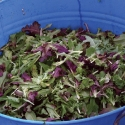 Mixed Greens from Blue Blaze Farm
