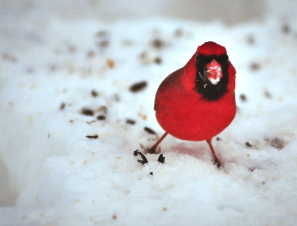 Season Mash. Red Bird and Snow.