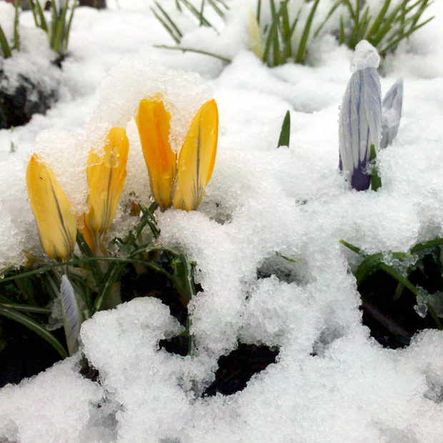 Flowers in the Snow on the second day of Spring