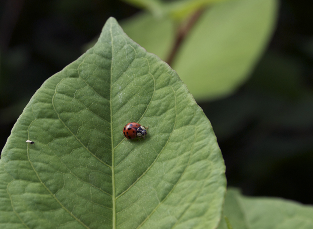 Ladybug on a leaf, photo by Laini Abraham. Lehigh Valley PA Nature.