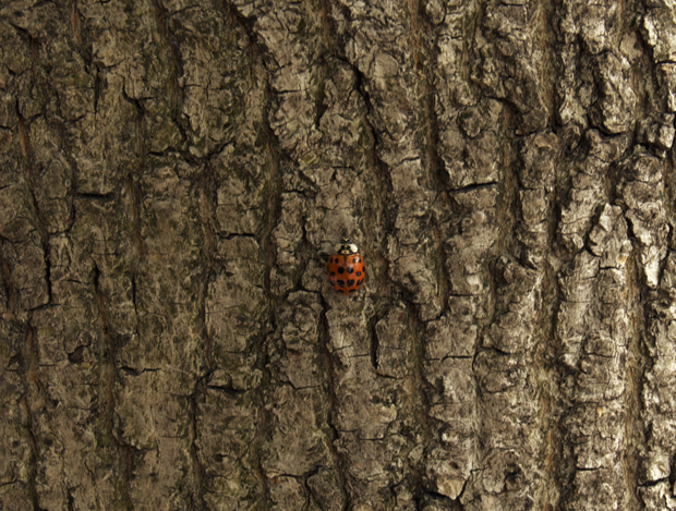 Ladybug on a tree, Easton PA. Lehigh Valley PA.